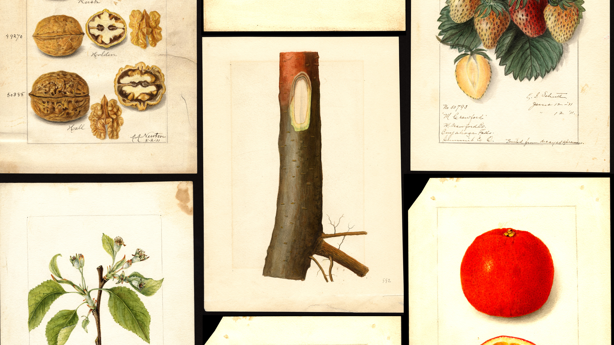 Various fruit and nut watercolor paintings from the 1800s
